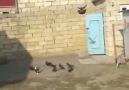 Pigeons Turkey Taklaci Taklaci. .........
