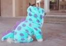 Pomeranian puppy dressed in Sully pajamas