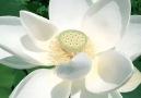 Pure Land - Pure land & pure lotus! Facebook