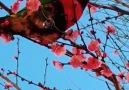 Pure Land - Pure land of gorgeous cherry & bird Facebook