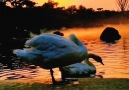 Pure Land - Pure land of super beautiful swans! Facebook