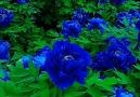 Pure Land - Super beautiful Blue Rose garden! Facebook