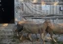 Ramadan Eğreti Merinos işletmesi uygulama ve bilgi paylaşımı - Nasipse.. Aslanlarım görev yerlerine..