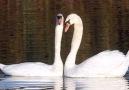 real swan lake ballet