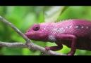 Renk Değiştiren Bukalemun