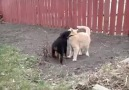 Rottwiler puppy playing with cat