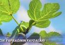 Sağlıklı Hayat - Doğadaki Mucize İNCİR YAPRAĞI Şifası...