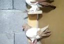 Şahin Akar - Sahiplendirilicek 8 tane çiçek gibi kuş...