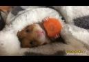 Sakin Sakin Havucunu Yiyen Hamster