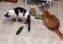 Salatalığı görünce kedilerin tepkileri görenleri şaşırtı
