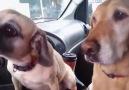 Şapşal Köpekler
