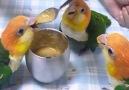 Sevimli Papağanların Yemek Vakti..