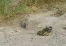 Sincaptaki cesarete bak.Zehirli yılanı pert etti..