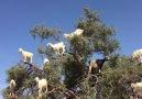 sizce bu keçiler ne yapıyor?