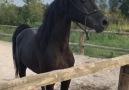 Sizce Nasıl Arkadaşlar - Satılık Arap Atları