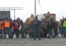 söke deve güreşi KANKA-ENVEREFE deveciler.comvideoVedat ÖZTÜRK