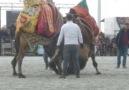 Söke deve güreşiTUNAHAN-İBİLİ deveciler.comVideoVedat ÖZTÜRK