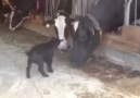 Şu Çılgın Hayvanlar )