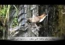 Süper Arapça İlahi - Subhanehu Rabbun Azîm