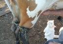 Sütü Taze İçmeyi Seven Sevimli Kedi