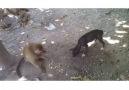 Tam bir serseri bu maymun