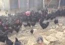 Tavuklar büyüyor