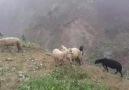Temmuz ayları Berkan ELAGÖZIyi seyirler - Hemşin Koyunu Çobanları