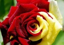 Ten photo ROSES for you