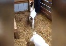That&why I love baby goats