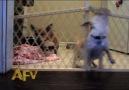 The Great Chihuahua Escape