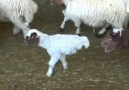 The Happiest Two-Legged Lamb You'll Ever Meet