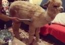 The Hook - Owner Vacuums Pet Alpaca Facebook