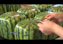 The Making Of SQUARE Watermelons - Please SHARE