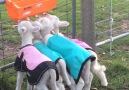 These tiny little lambs are all I need today!