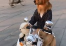 They say a dog is a man&best friend well this dog could be man&best chauffeur!