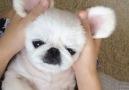 This Panda Dog Is Weird But Cute