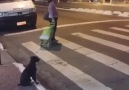 This smart dog knows exactly when to cross the street!!!Credit ViralHog