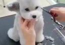 Tıraş olan tatlı köpek ) Kesin izleyin )