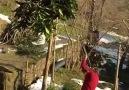 TRABZON da Ağaç Budama )