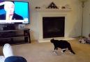 TV'de ki Donald Trump'ın Bakışlarından Korkan Kedi