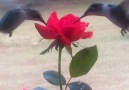 Two hummingbirds drink from a rose Credit JukinVideo