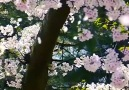 Unique Scenery - Mind-Blowing Cherry Blossom Flowering!!! Facebook