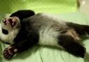 Uyanmak İstemeyen Sevimli Pandanın Hareketleri