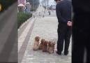 Uyumlu Köpekler
