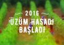 2016 Üzüm Hasadı Başladı