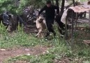 Vay bee &&- SİVAS Kangal Köpeği