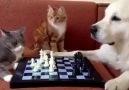 Video Sabırsız kediler ve köpeğin komik satranç oyunu