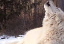 Wolf Conservation Center - A Powerful Presence Facebook
