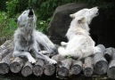 Wolf Conservation Center - Howls with Friends