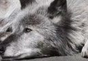 Wolf Conservation Center - Zen Sessions with Zephyr Facebook